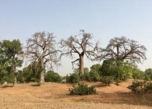 Baobabs in Ghana